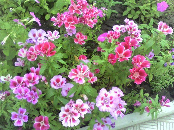 Как называется цветок похож на тюльпан